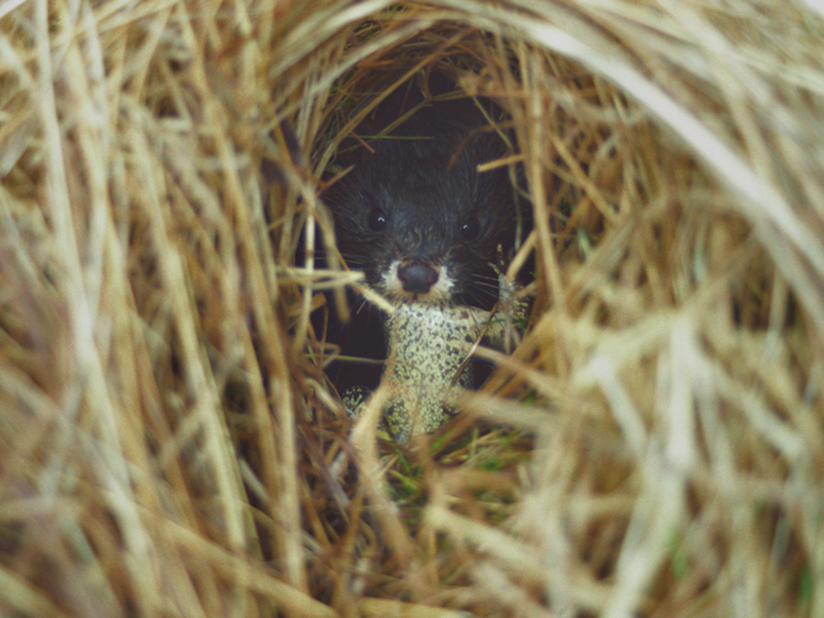 Study and conservation activity in relation to the European mink