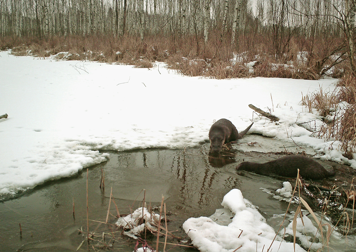 Benefit of semiaquatic mustelids from beaver construction activity in Belarus and the method to census aquatic prey