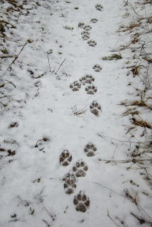 Track trails of three wolves
