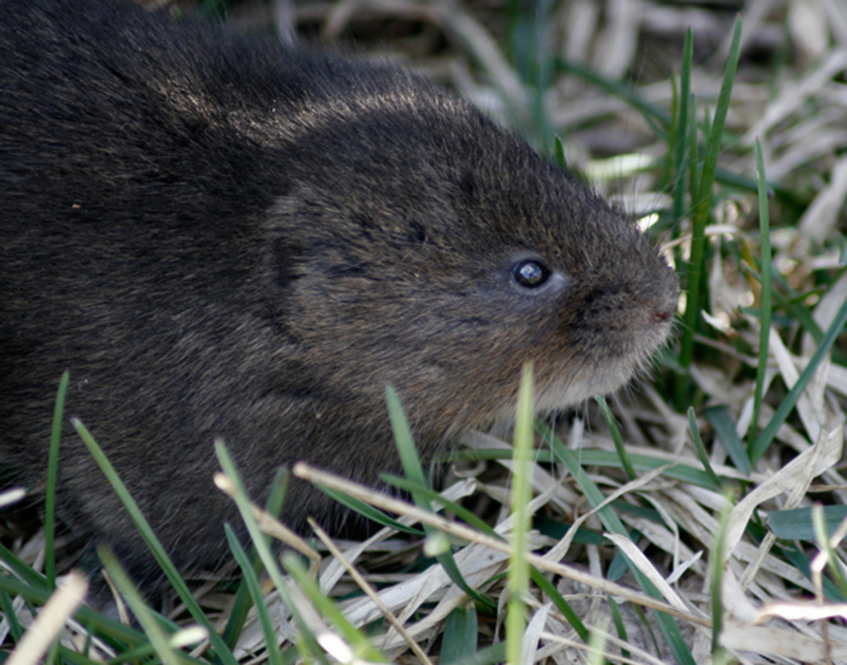 Impact of American minks on water vole and root vole populations and populations of the aboriginal predators – eaters of these beneficial prey,  in particular, the stoat and great grey owl
