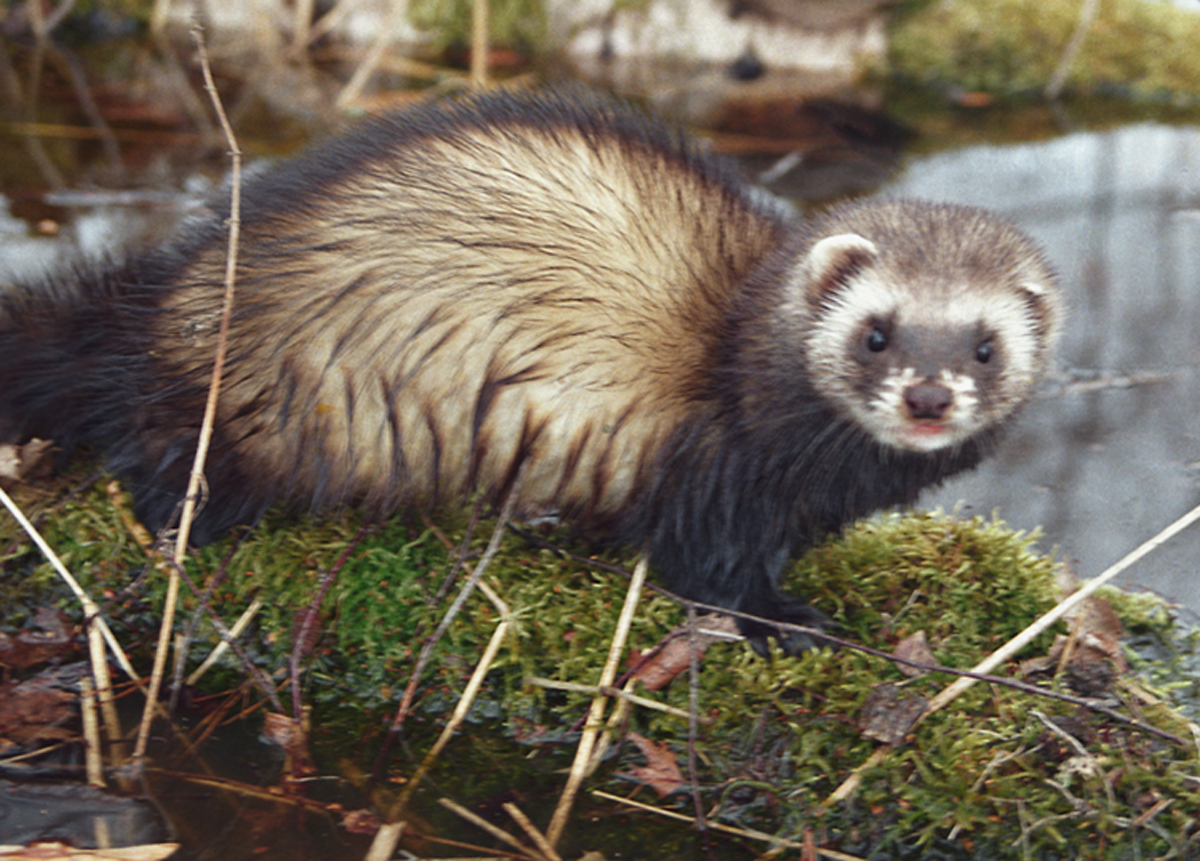 The causes of long-term decline in the polecat  population in Belarus